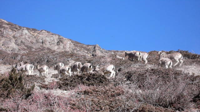 Himalayan Blue Sheep (?)